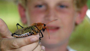 si-como-no-wildlife-refuge-grasshopper-costa-rica-1